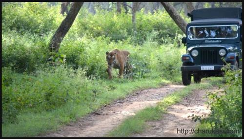 Catwalk in Bandipur by CharuKesi